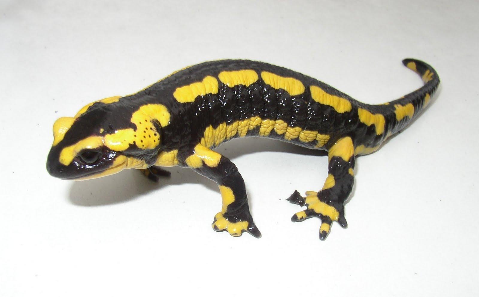 salamandre3